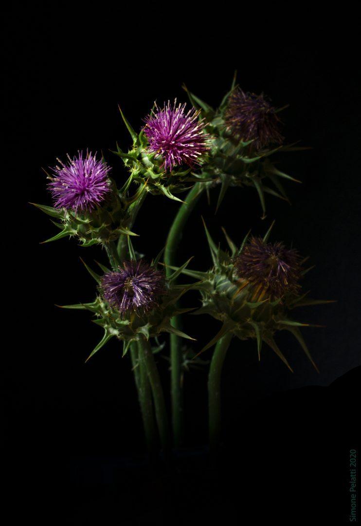 Apici fioriti di Cardo Mariano.