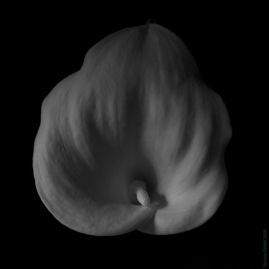fiore di calla visto dall'alto