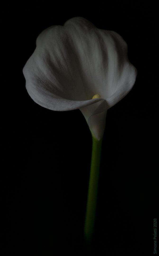Fiore di calla visto di fronte