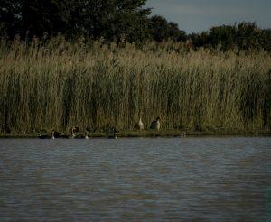 """""""Crowded side"""", Oche selvatiche, folage e nutrie sulla riva della palude al margine del canneto. In lontananza è l'Appennino Modenese. Mirandola (MO). - Sony a6000, 330 mm, 1/1250 sec a f - 7,1, ISO 500 - Simone Pelatti, 2020."""
